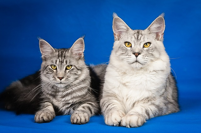 maine-coon-cats