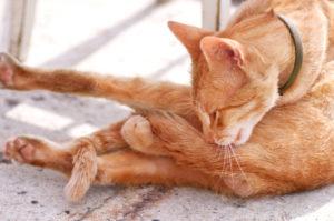 cat licking itself