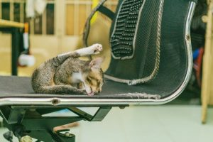 cat-licking-chair