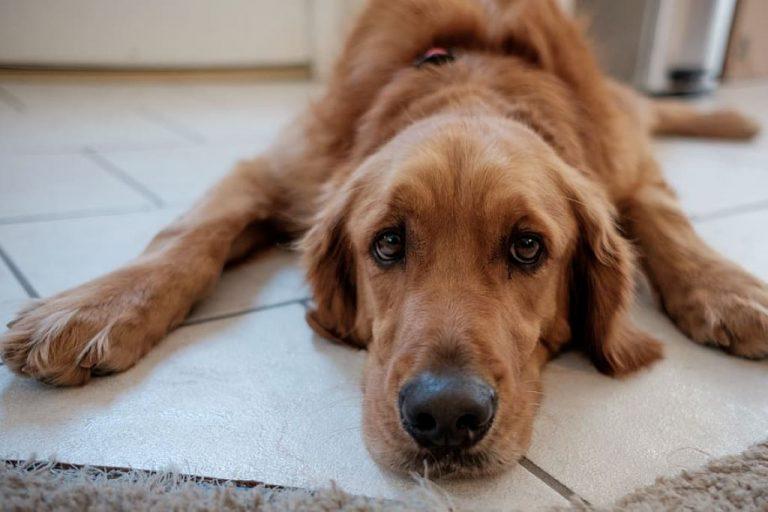 brown doggo sleepy on white floor