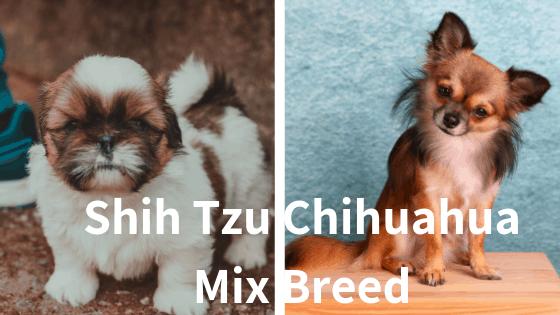 Shih-Tzu-Chihuahua-Mix