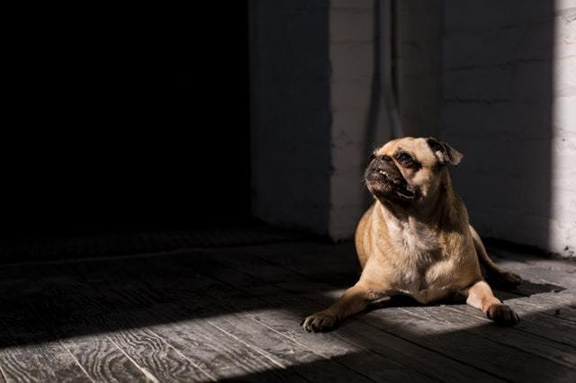 brown pug