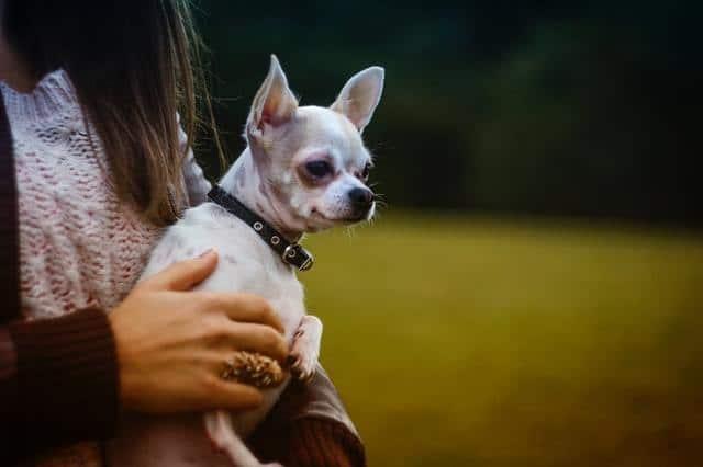 woman holding chihuahua