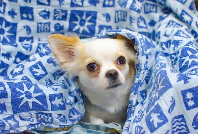 chihuahua in bedsheet