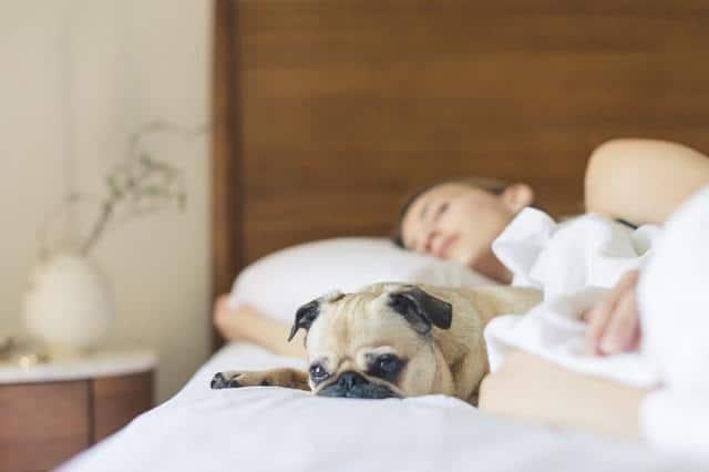 pug sleeping on bed