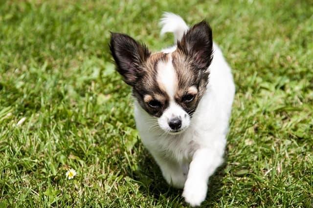 chihuahua on grass