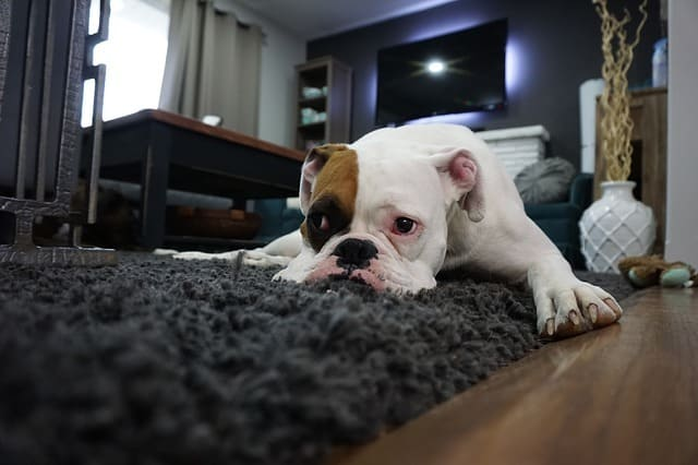 boxer in a room