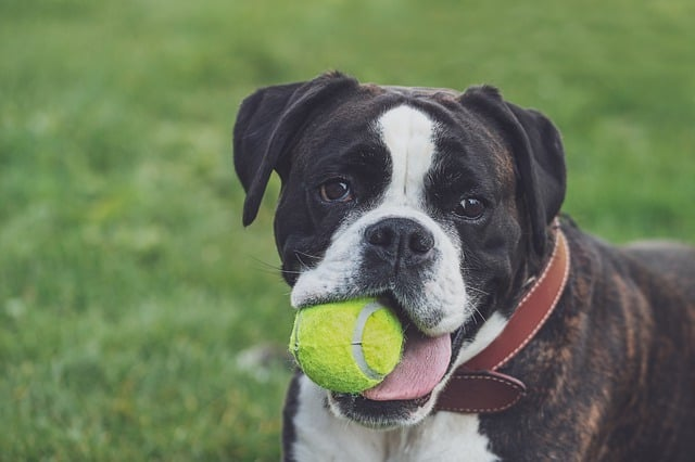 boxer with a ball
