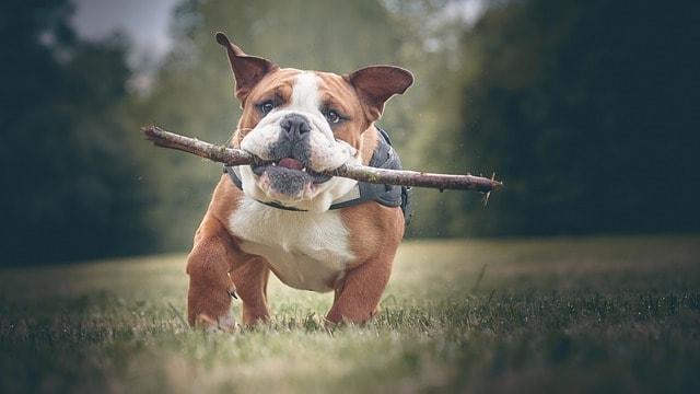 bulldog with a stick