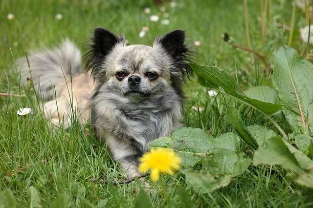 chihuahua in a garden