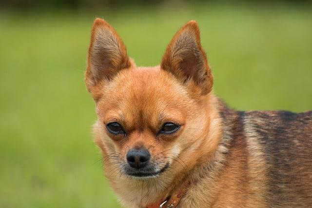 a serious dog