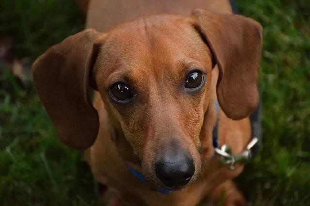 cute dachshunds