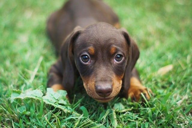 dachshund on grass