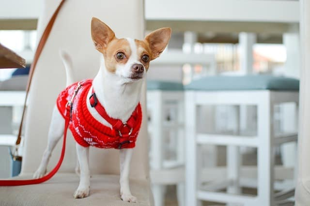 chihuahua in a red apparel