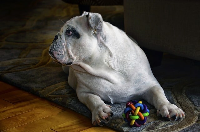 bulldog on floor