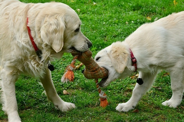 dogs fighting for a chew toy