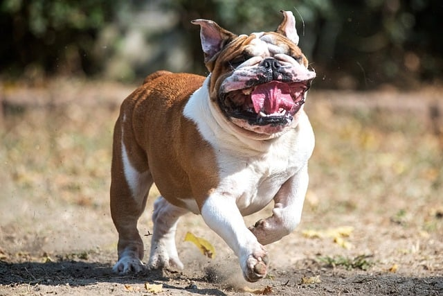 brown and white bull dog