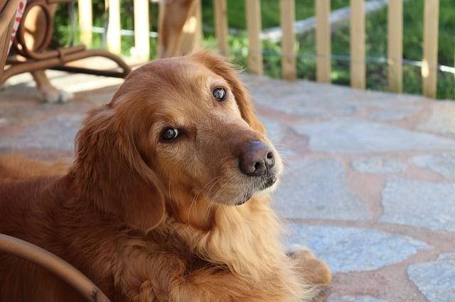 golden retriever sitting on garden