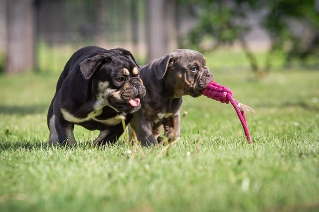 bulldogs with a rope