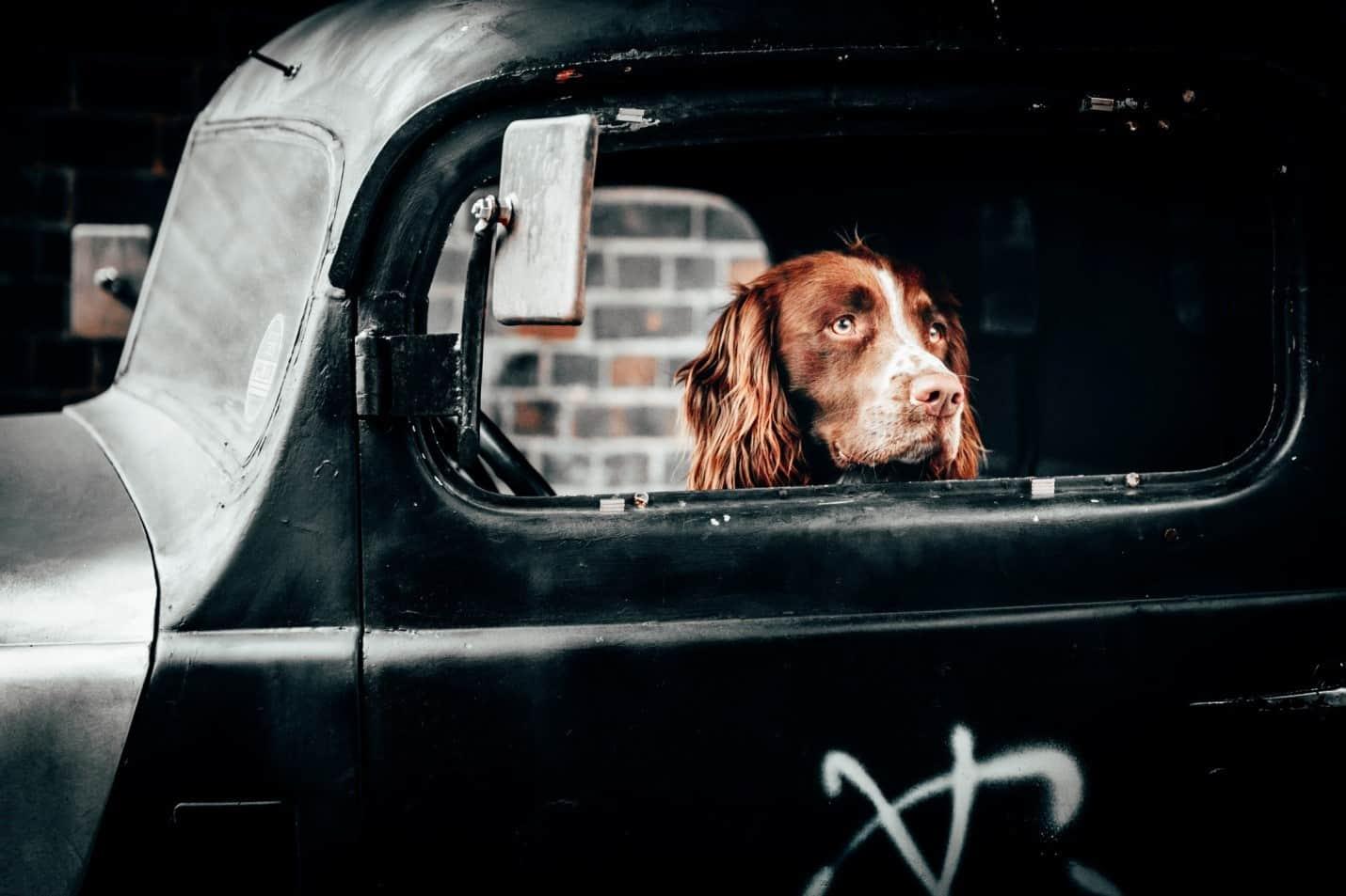 a dog in a car