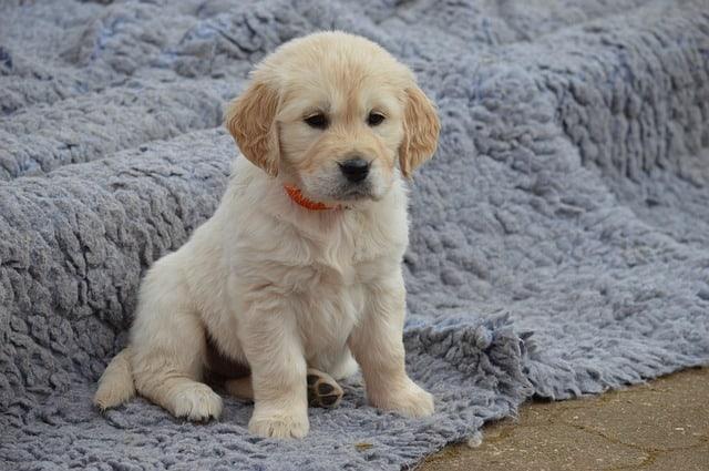 a cute creamy puppy