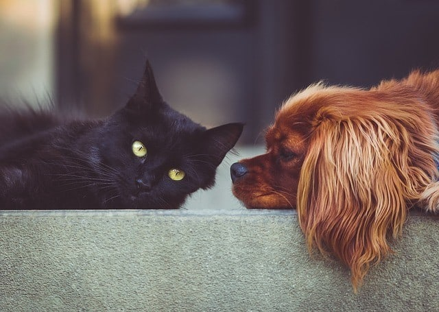 black cat and a brown dog