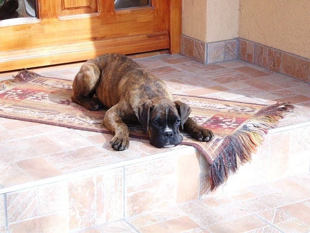 boxer lying on a mat