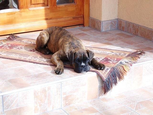 boxer lying on a mat