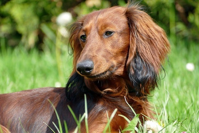 Are-Dachshunds-Smart