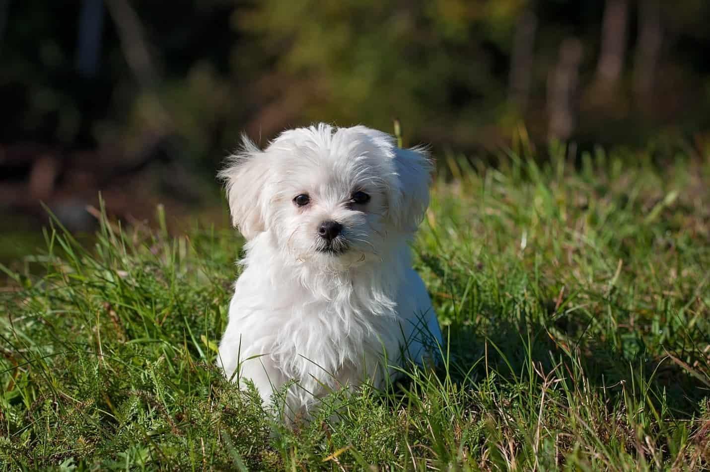 a cute white puppy