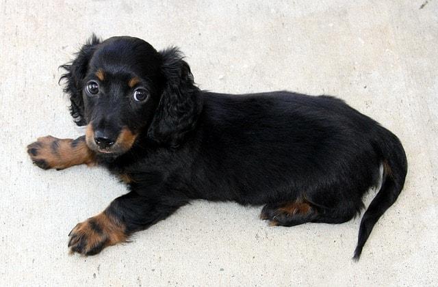dachshund on the floor
