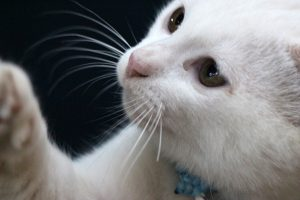 close-up-of-white-cat