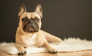 french bulldog posing on a fur rug