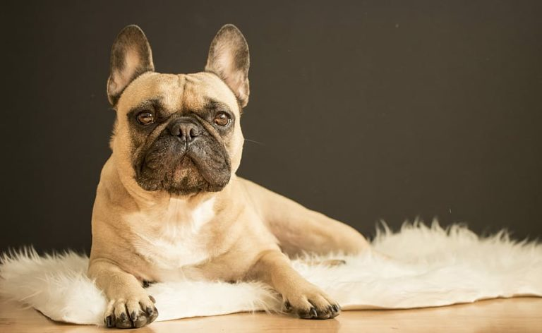 french bulldog posing on a fur rug