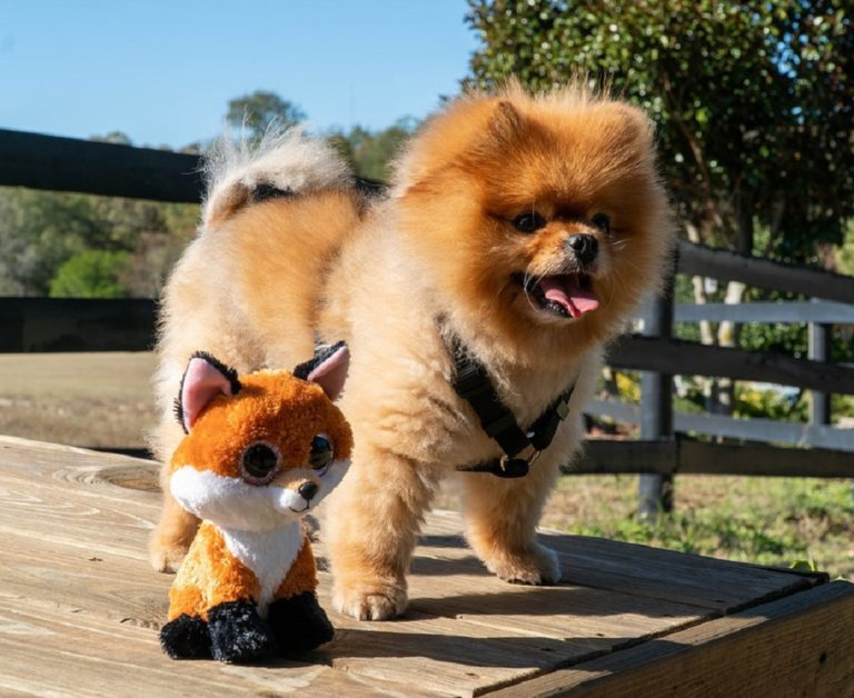 cute pomeranian puppy dog outdoors