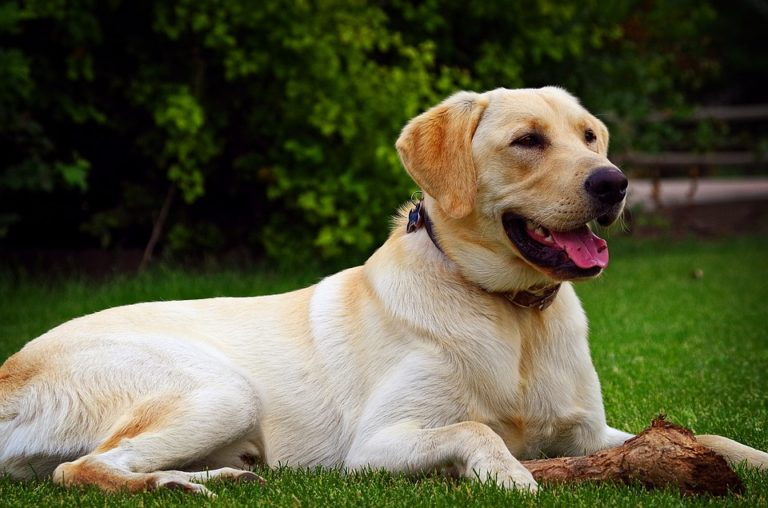 yellow lab yellow labrador golden