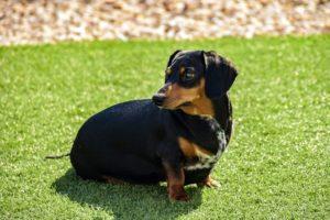 black and brown dachshund puppy on green grass