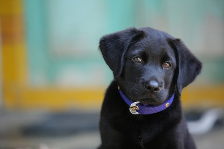 black labrador puppy dog