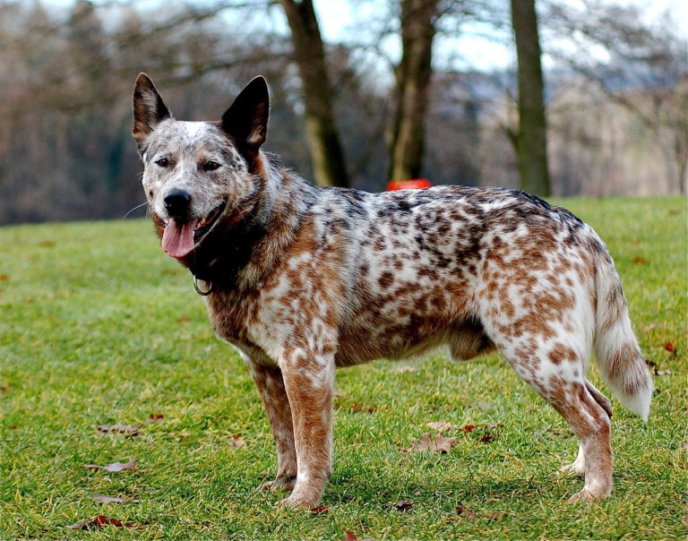 cute blue heeler at the park