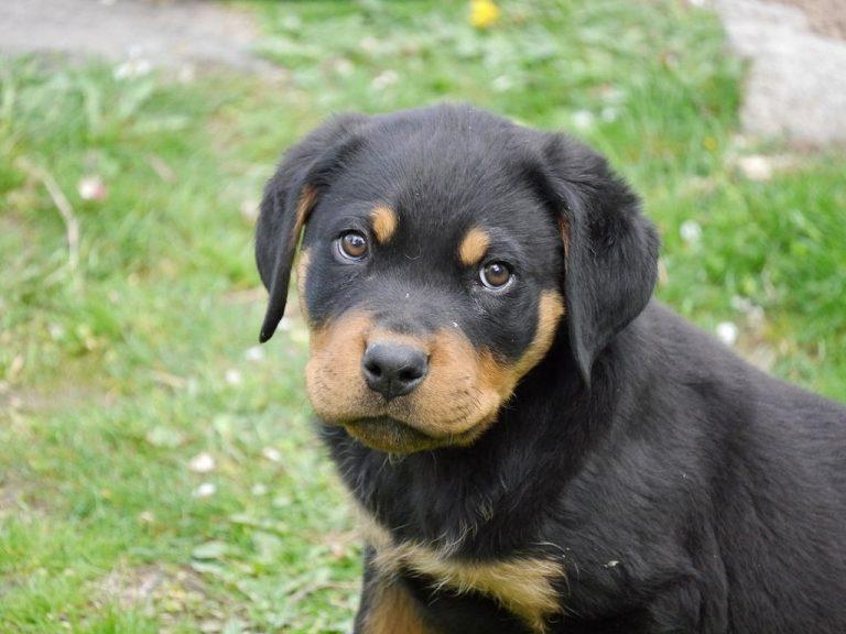 rottweiler puppy 2 months old