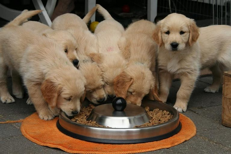 golden retriever puppies eating