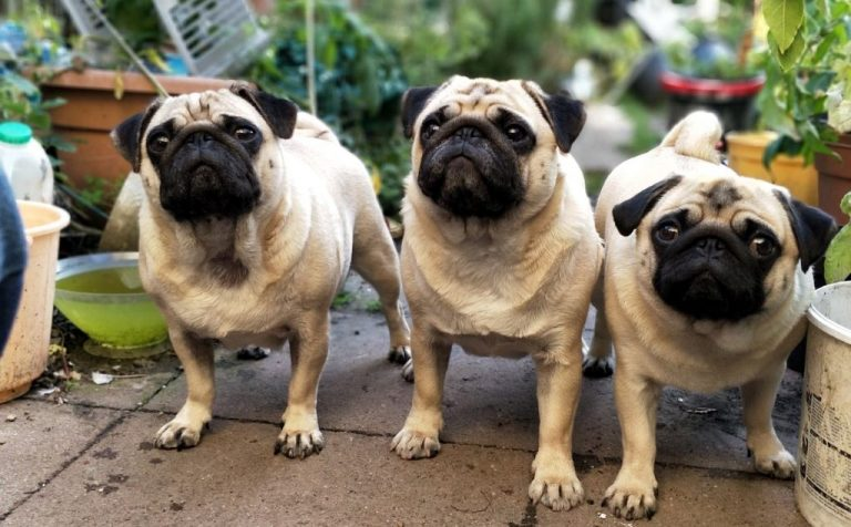 three cute pugs outdoors