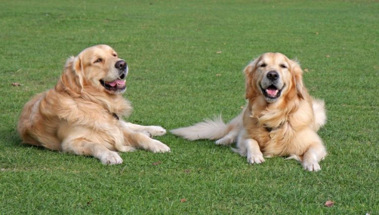 two dogs golden retrievers playing