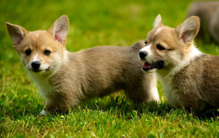 corgis at eight weeks