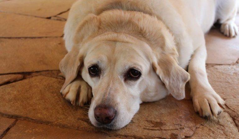 fat tired labrador dog