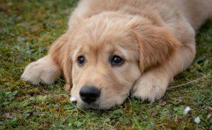 golden retriever purebred dog lying on the grass