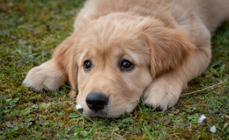 golden retriever purebred dog lying on the grass