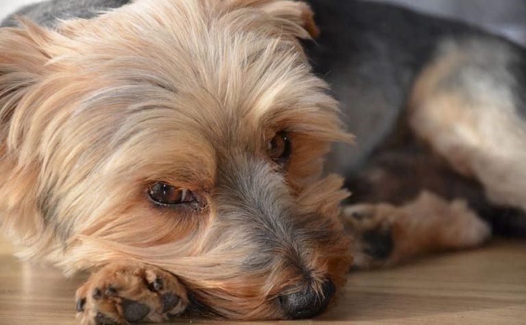 yorkshire dog with sad eyes