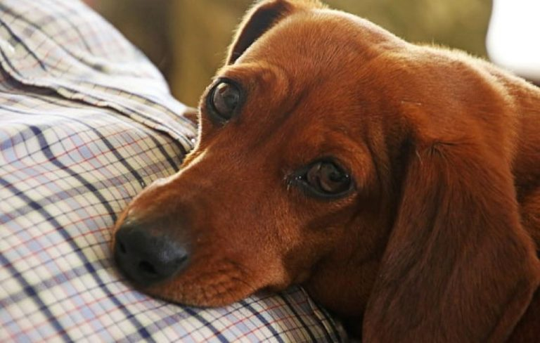 sad red dachshund lying down