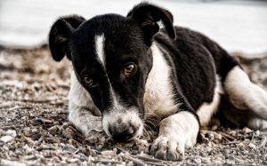 sick black and white dog lying down